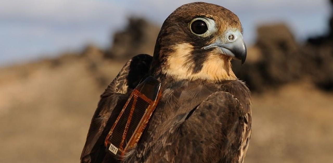 Vogels volgen met sensoren en big data